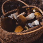 Steinpilze im Herbst