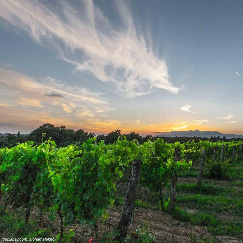 Grüne Weinreben vor einem Sonnenuntergang